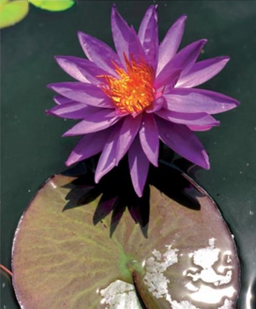 Nenúfar en flor flotando sobre un estanque